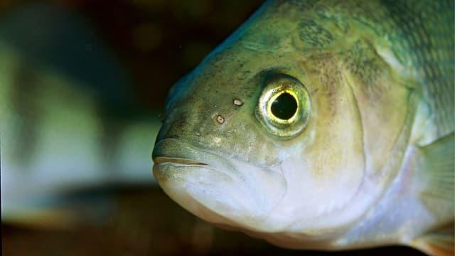 Ein Fischkopf in Nahaufhanhme.