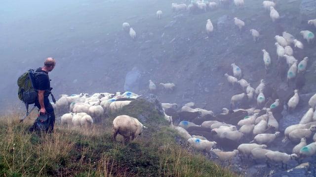 Ein Mann treibt Schafe vor sich her.