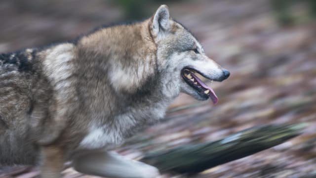 Ein Wolf rennt. Der Wald hinten ist verschwommen.