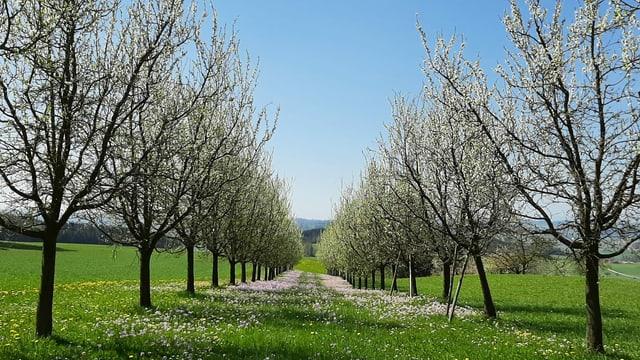 Blüten an Obstbäumen bei Buttisholz.