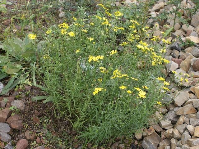 Schmalblättriges Greiskraut, eine gelbe Blume.