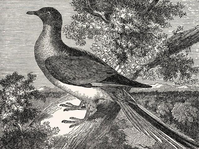 Die Wandertaube, hier auf einer detaillierten Zeichnung, wurde durch ihr endgültiges Verschwinden zum Symbol für den Raubbau an der Natur.
