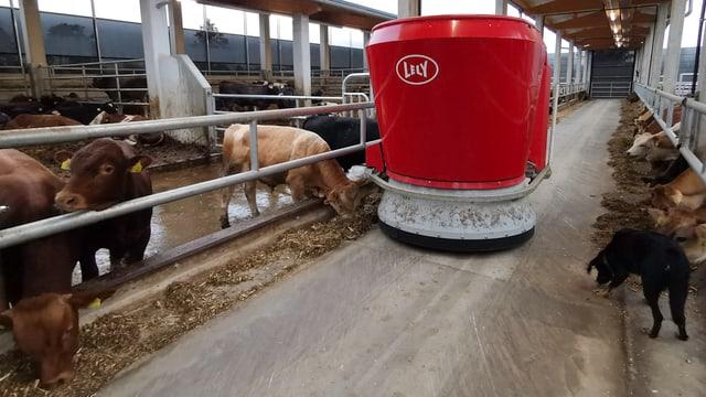 Fressende Kühe, daneben der rote Fütterungsroboter - und ein schwarzer Hund.