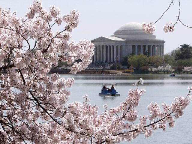 Durch die blühenden Kirschbäume ist das Jefferson Memorial zu sehen.