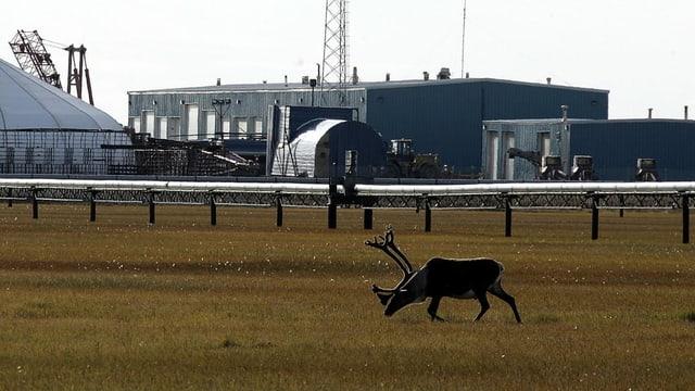 Karibou vor einer Ölanlage.