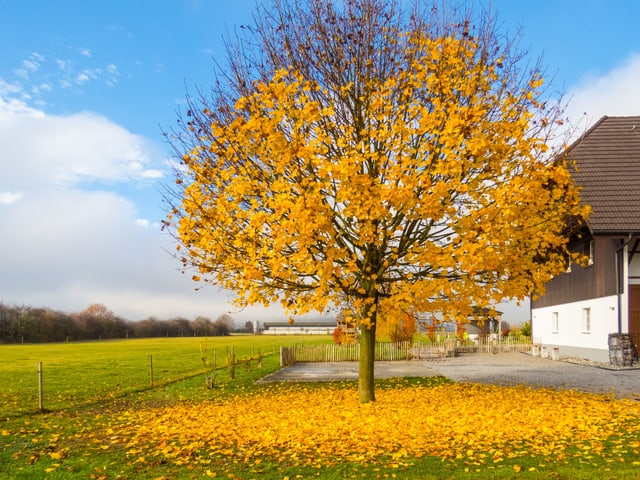 Ein Baum streckt kahle  Äste in den Himmel, die goldfarbenen Blätter liegen rund um seinen Stamm.