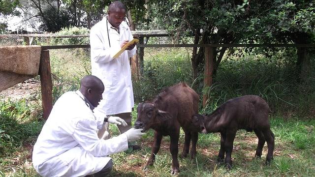 Video «Reality-Soap «Jobtausch» (1) Kenia - Tierärzte» abspielen