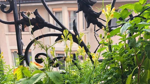 Einheimische Pflanzen auf dem Balkon
