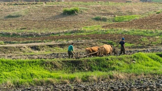 Bauern mit einem Büffelwagen im Feld.