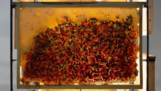 Nahaufnahme einer Bienewabe mit unterschiedlich gefärbten Zellen