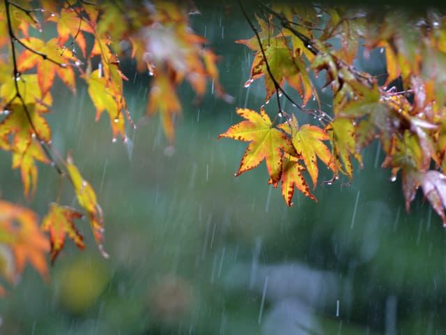 Herbstblätter im Regen