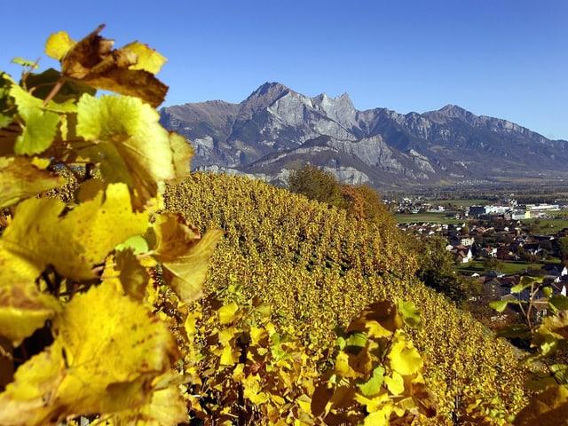 Ein abgernteter Weinberg im Rheintal, viel goldbraune Blätter hänge noch an den Reben, es herrscht strahlender Sonnenschein.