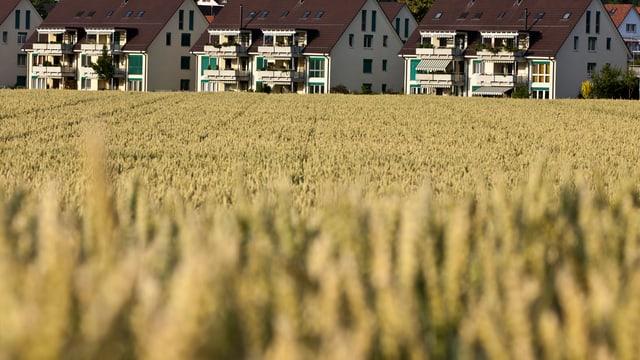 Kornfeld, dahinter neue Häuser