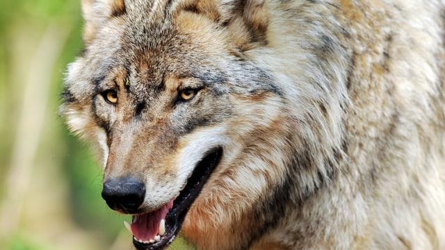 Kopf eines Wolfes in Grossaufnahme