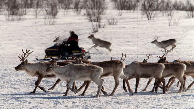 Sami mit Rentierherde im Norden Norwegens