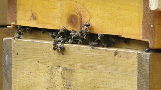 Bienen an einem Bienenstock.