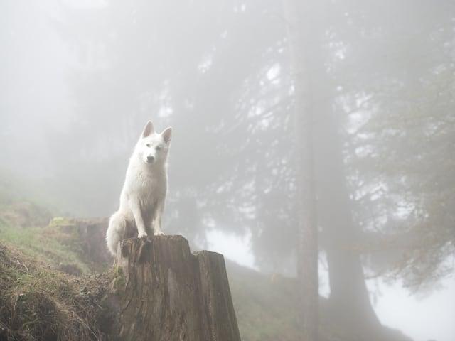 Ein weisser Hunbd auf einem Stein sitzt im Nebel- auf dem Hulftegg  Baslelland.