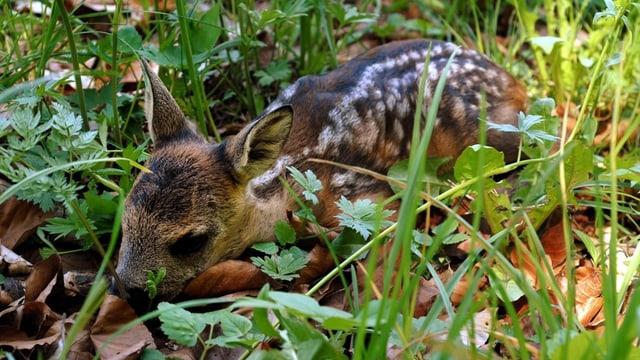 Ein junges Rehkitz im Gras.