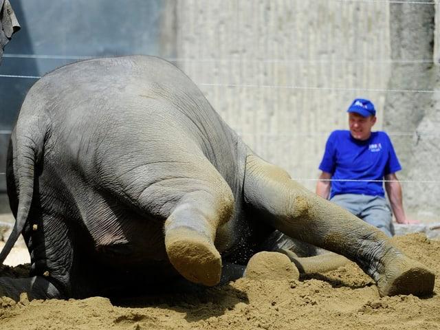 Ein Elefant wälzt sich im Zürcher Elefantenhaus im Sand, während ein Pfleger nur wenige Meter entfernt zuschaut.