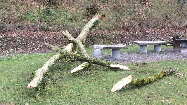Umgestürzter Baum am Waldrand.