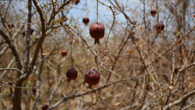 Verdorrte Granatapfelbäume