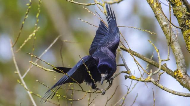 Saatkrähe auf einem Baum