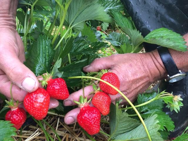 Hände halten sechs Erdbeeren