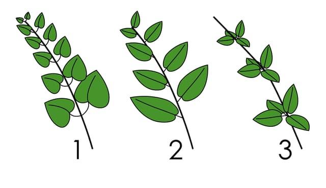 Die drei Pflanzenarten in einer Zeichnung hintereinander dargestellt.