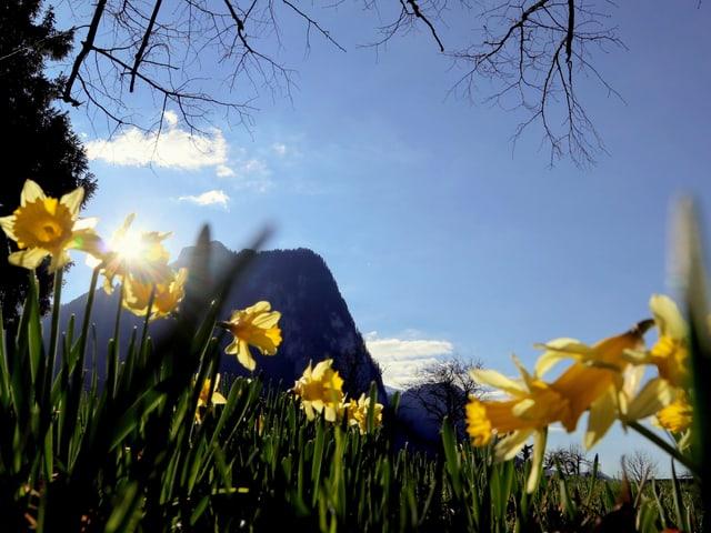 Gelbe Osterglocken mit blauem Himmel im Hintergrund.