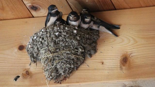 Rauchschwalben-Nest