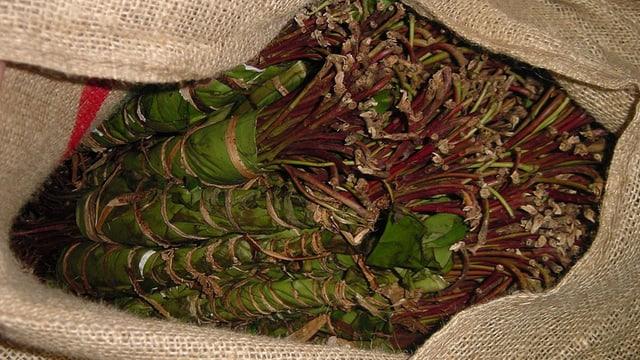 La planta da Kath vegn producida en l'ost da l'Africa u en il sidvest da las peninslas arabas.