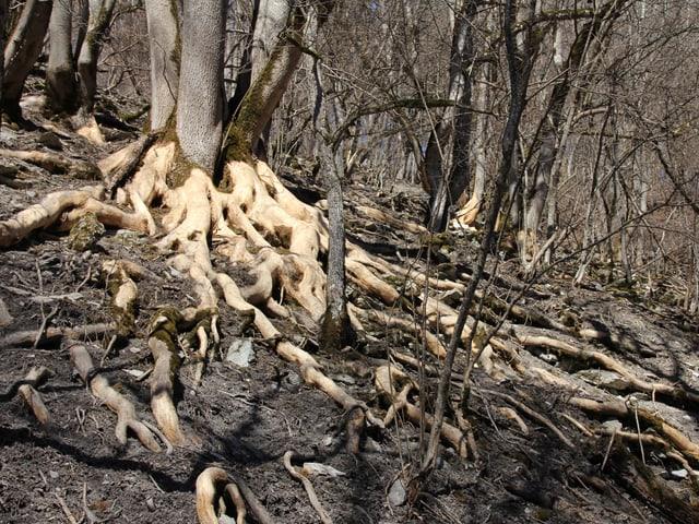 Schälschäden an einem Eschenbaum