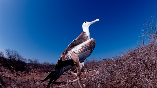 Ein Albatros vor blauem Himmel.