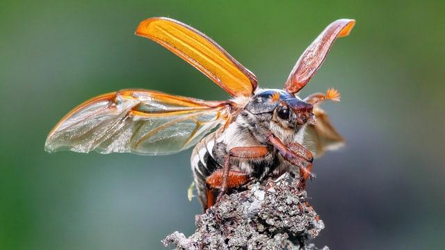 Maikäfer mit abgespreizten Flügeln