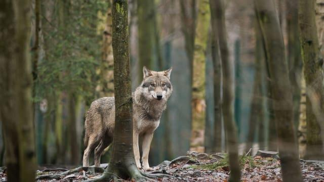 Wolf steht im Wald.