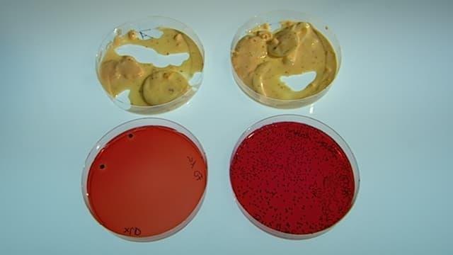 Zwei Proben desselben Eiersalats. Links mit wenigen Salmonellen in der Petrischale davor, rechts mit vielen.