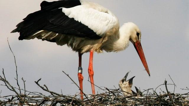 Ein Storch im Nest mit zwei Jungen.