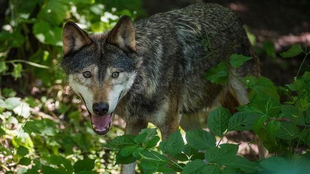 Wolf im Dickicht.