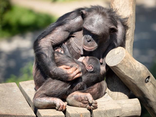 Schimpansen-Baby bei seiner Mama.