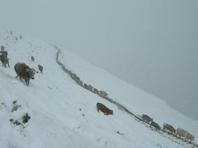 Kühhe werden von den verschneiten Almen  getriben( Ort: RUBI 1900 m.ü.M)