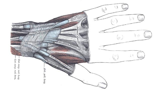 Die anatomische Darstellung einer Hand.