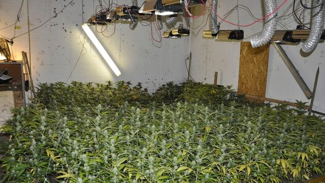 Eine Hanf-Indooranlage. Viele Grüne Hanfpflanzen. Eine Spezielle Beleuchtung ist an der Decke montiert.