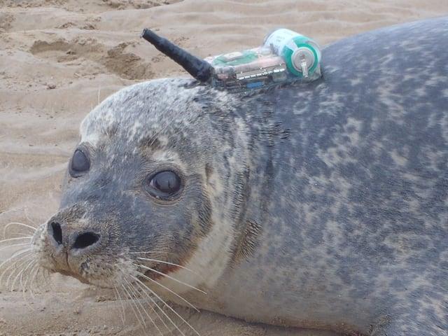 Ein Seehund mit GPS-Sender im Dienst der Forschung.