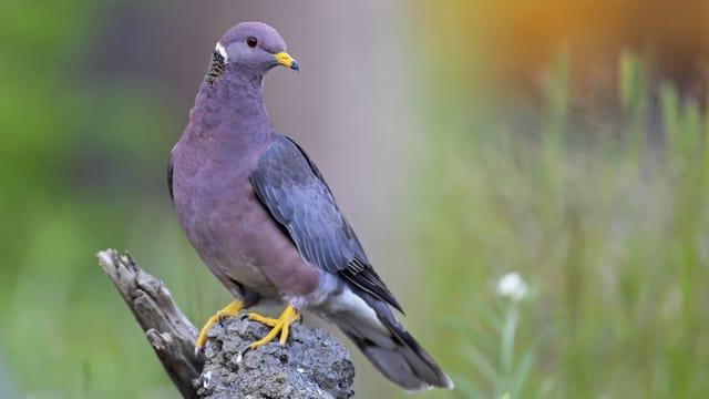 Ein Vogel mit violett-grauer Brust sitzt auf einem Stein