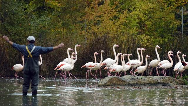 Rosa-Flamingos im Berner Tierpark Dählhölzli