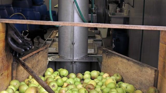 Äpfel rollen über ein Holzbrett.