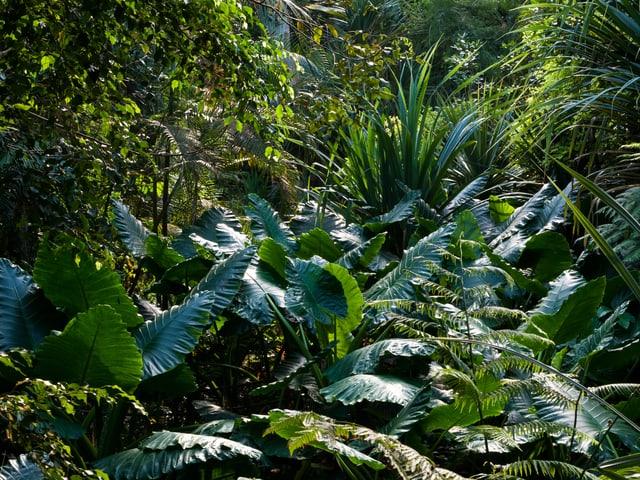 Bis zu 60 Zentimeter lang werden die Blätter des Elefantenohrs.