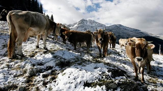 Kühe auf einer Alp im Schnee