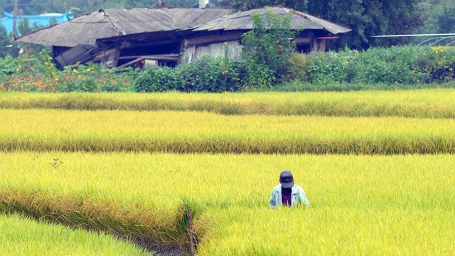 Ein Reisfeld in Südkorea