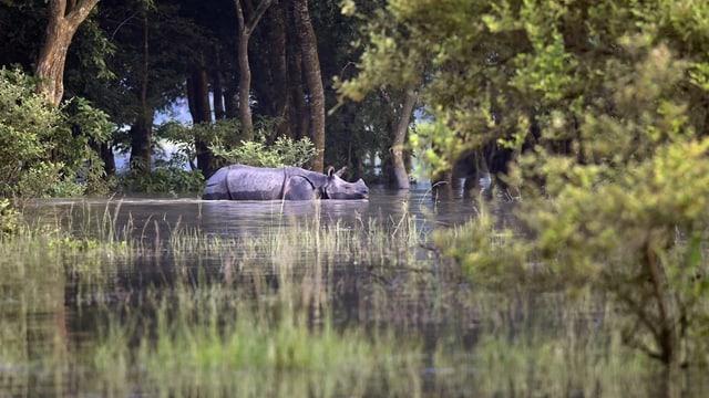 Ein Nashorn steht im Wasser
